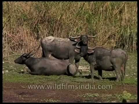 Herd of water buffaloes lazing around a beel