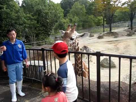 石川動物園 キリンに餌を与える動画