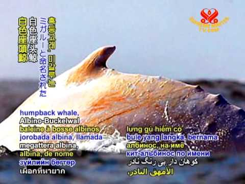 SAVE OUR PLANET - Migaloo the albino whale gets protection from Queensland boaties