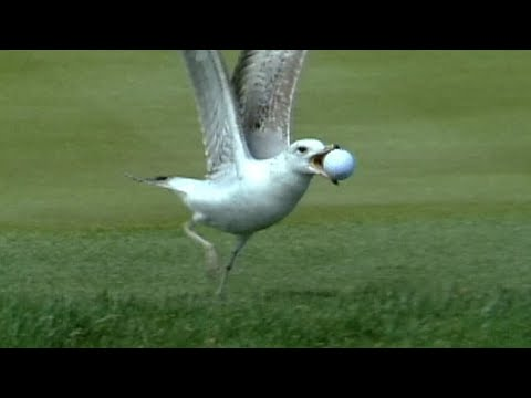 Seagull steals ball on No. 17 at THE PLAYERS in 1998