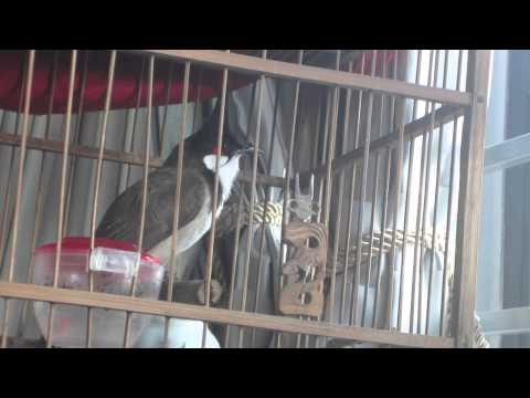 Chim Chào Mào Huế Hot Rất Hay, Chao Mao Hot video