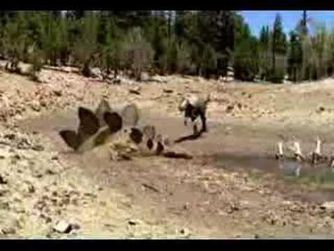 Allosaurus Trap