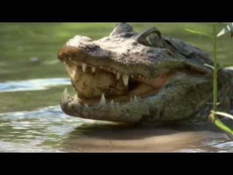 The Broad-Snouted Caiman