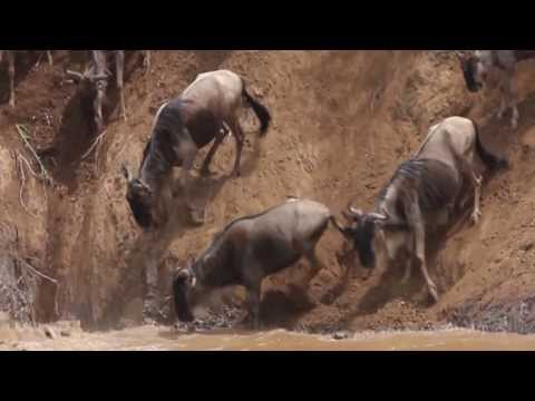 WILDEBEEST MIGRATION River Crossing and Crocodile Hunt