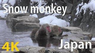 [4K] Snow Monkeys  in hot springs of Japan (Jigokudani Snow Monkey Park) [Japan Travel Guide]