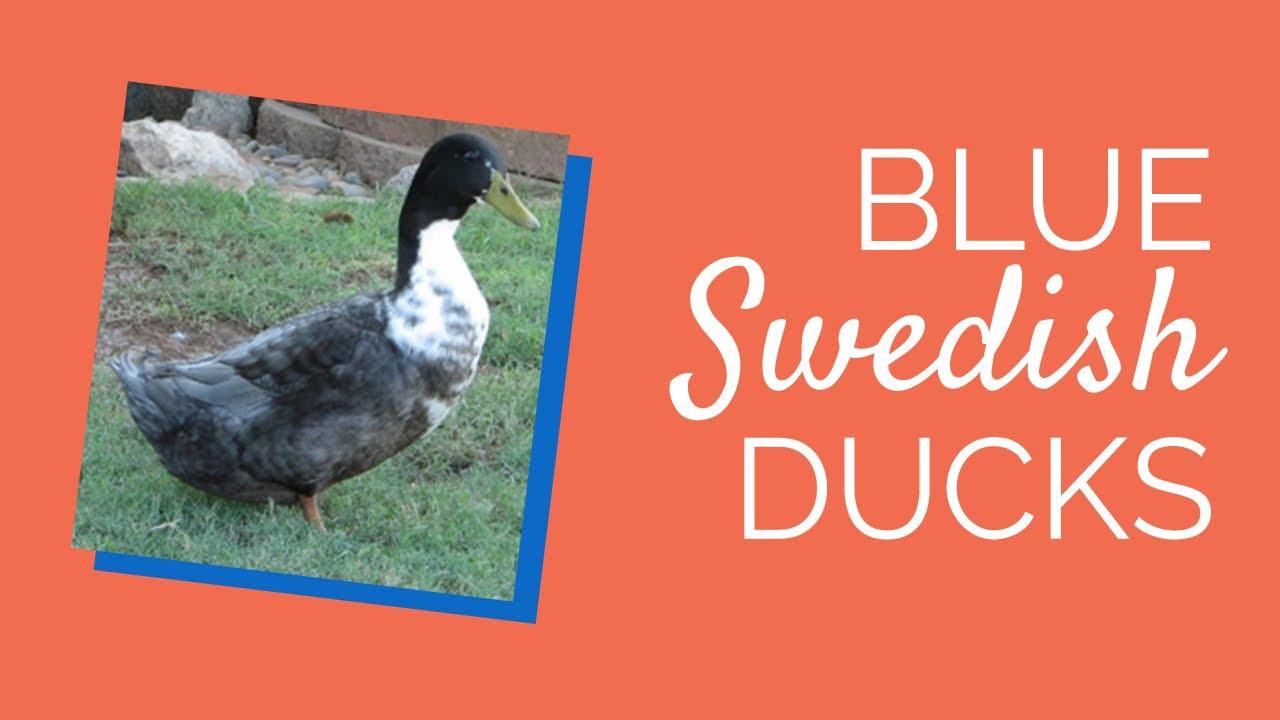 Blue Swedish Duck Egg Maxresdefault.jpg