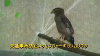 飛べないカンムリワシ展示へ