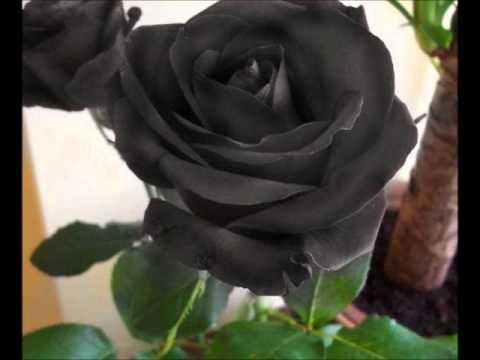 Rosas Negras: Acordes, Letra y Tabs (Tremolo)