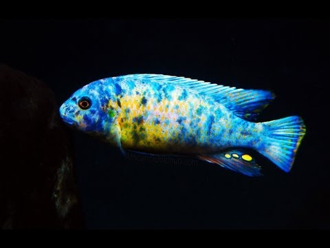 Mbuna from Lake Malawi - Interesting Facts