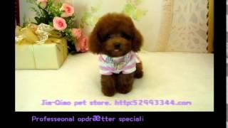 Tekop pudel 792 Tiny Toy pudel Tekop puddel Pocket tekop puddelhund