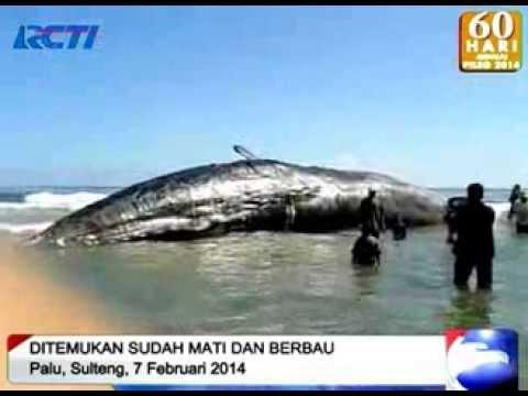 Ikan Paus Terdampar - Seputar Indonesia 2014 video