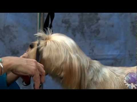 Grooming a Silky Terrier Mix In a Cute Personality Trim