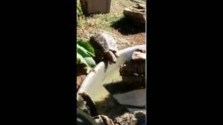 Tortoise drinking water from fish pond