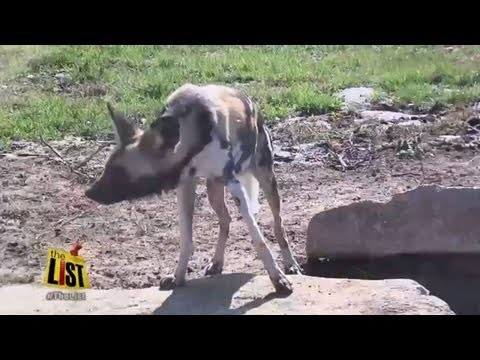 Five fun facts about the African Painted Dog: the newest exhibit at the Tulsa Zoo