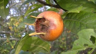 Nèfle , un fruit sauvage comestible , survie