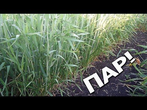 Вот это да, пшеница! По пару 15.05.2018.