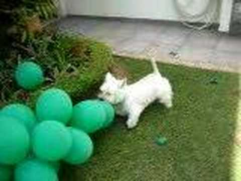 west highland white terrier - Scott the DOG - westies Video