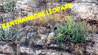 Big Cat and Rocks: Ranthambore Leopard Sighting