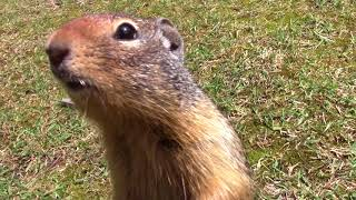 Encounter with Ground Squirrels