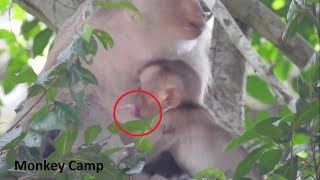 Pity baby monkey, Baby monkey want milk, Pig tail monkey really love this baby,Monkey Camp part 1415