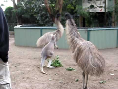 Kangaroo vs Emu: FIGHT!