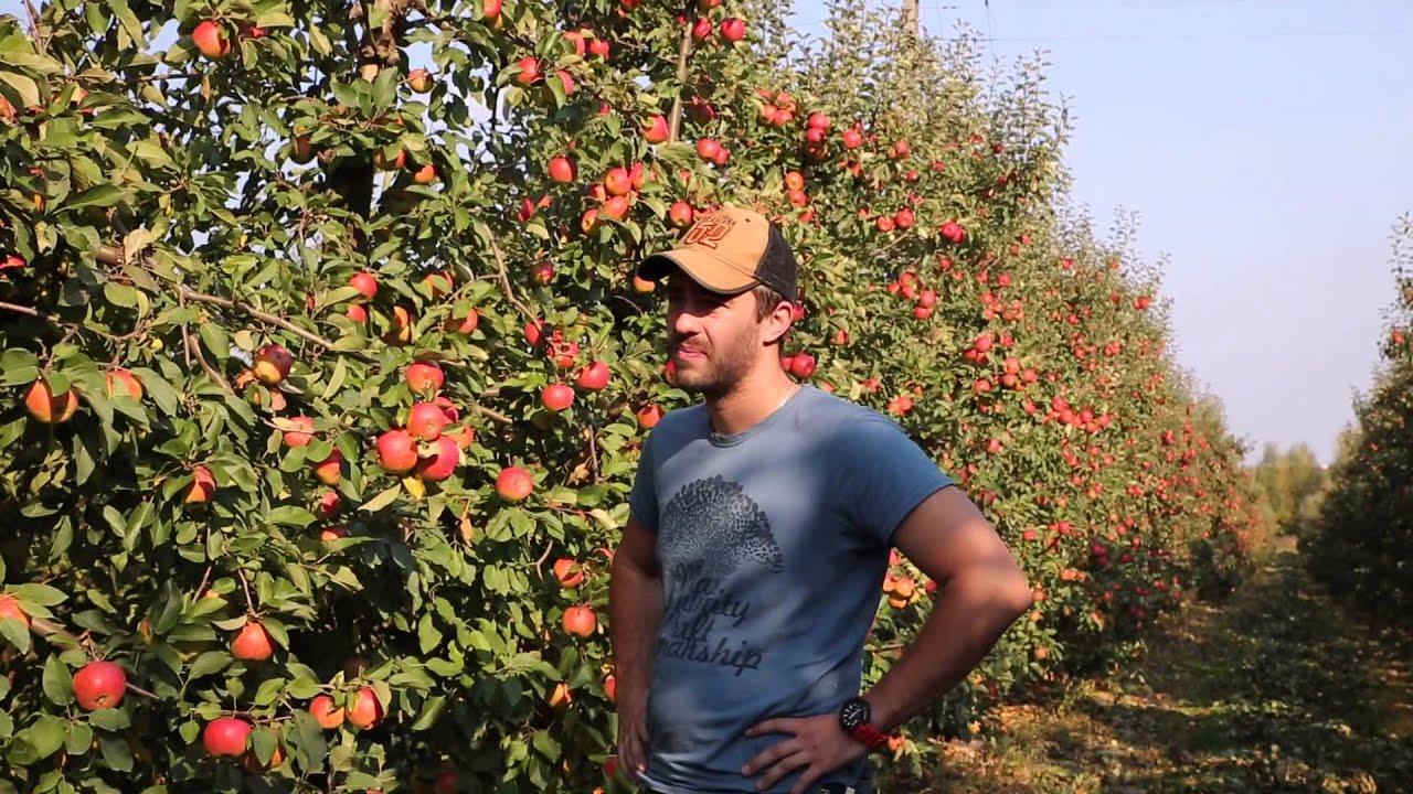 uprawa jabłek, jabłka odmiana Topaz, forum sadownicze