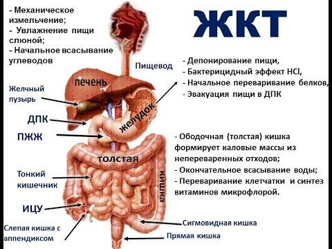 рисунок желудочно кишечный тракт