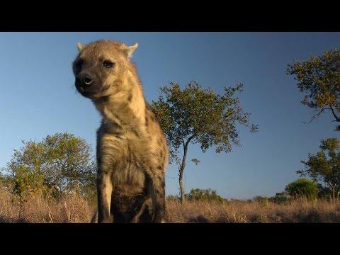 Hyenas Know Who's Single... Through Scent