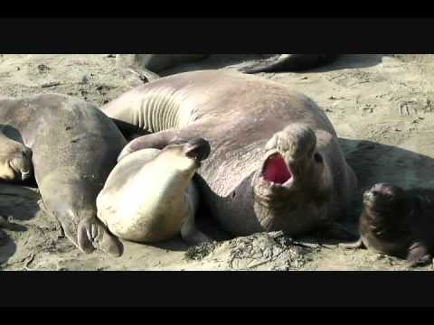 Successful Elephant Seal Mating