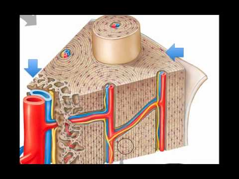 Bone Microscope Labeled Microscopic Bone Structure