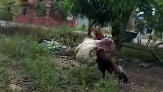Bird Turkeys Giant VS Chicken Pelung Regulated Large, Which WIN ?!