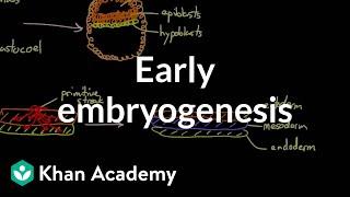 Early embryogenesis - Cleavage, blastulation, gastrulation, and neurulation | MCAT | Khan Academy