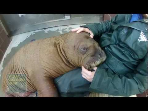 Mitik the Walrus Calf Settles in at New York Aquarium.mov