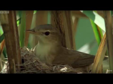 Cuckoo hijacks warbler nest - Natural World - BBC