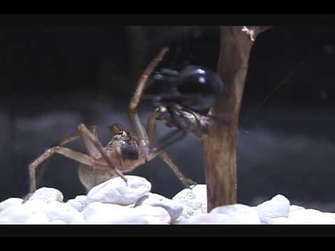 Wolf Spider And Black Widow