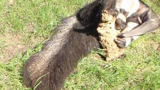 Giant Ant Eater crushing wood - Cologne Zoo