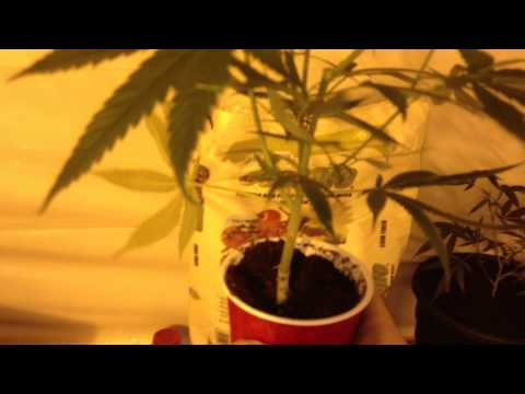 How To Transplant Marijuana Clones And Follow-up On Drug Checkpoints!
