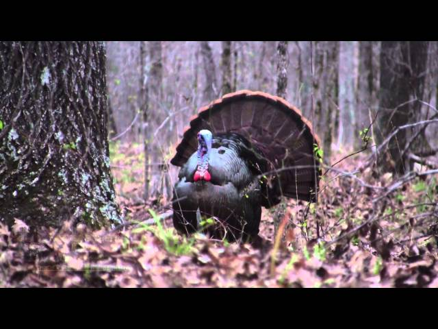 """""""Opening Day Gobbler"""" Georgia Spring Turkey Hunting CITW E3 2015"""