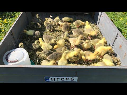 Село. Купили 40 гусей! Сами в шоке 😲