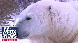 Dozens of polar bears invade remote Russian town: Report