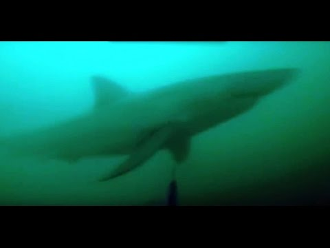 GREAT WHITE SHARK ATTACK DURING SPEARFISHING - Attacco squalo bianco Pesca Apnea