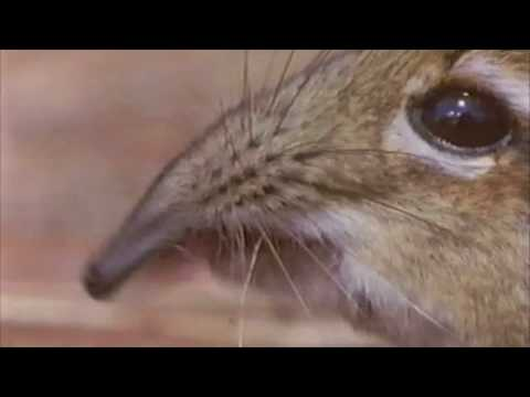 the elephant shrew!