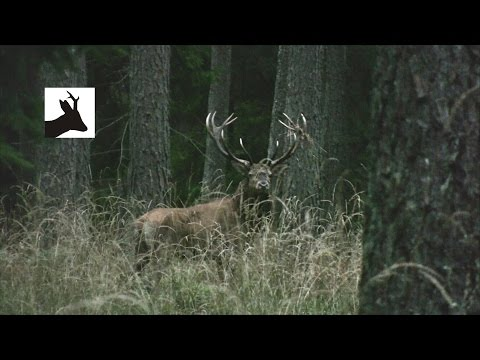 Red deer rut 2012. Deer stalking in Poland.