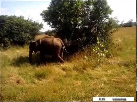 Awesome Three Elephant Gang  in Wasgamuwa Sri Lanka