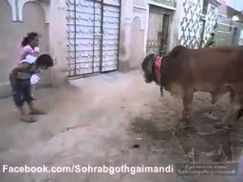 Funny Baby & Ox very enjoye