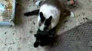 Cat Attacks Rabbit Guess what happens