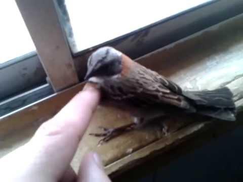 como atrapar pájaros sin trampas ni nada