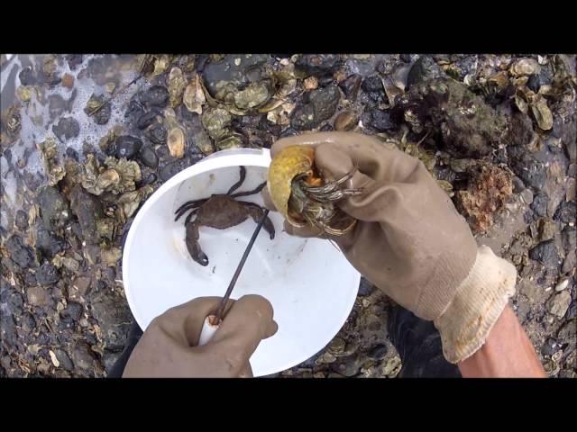 Stone crabs 4 29 14