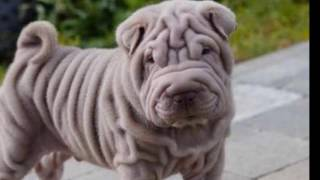 Pug Carlino vs Sharpei, ¿Cuál elegir?