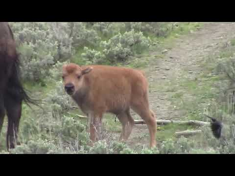 Baby Bison Playing